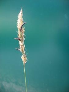 Ergot on grass