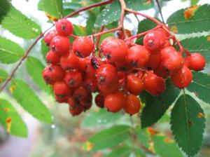 Rowan berries after rain