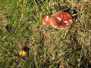 A red Russula or brittlegill mushroom. These mushrooms can be hard to tell apart.