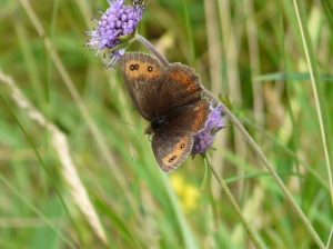 Scotch argus butterfly on devil's bit scabious