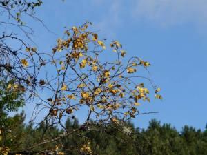 Birch leaves turning yellow