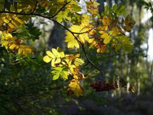 Rowan tree with berries, early autumn