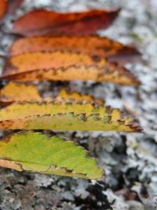 Rowan leaf showing all the autumn colours!