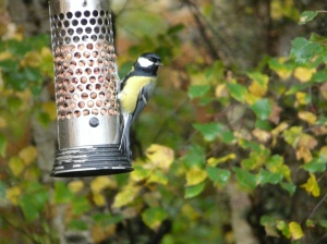 Great tit on Dinnet feeder.