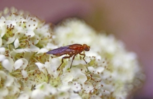 Hoverfly-01