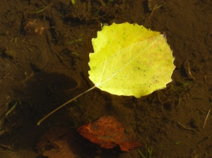 Aspen leaf floating on puddle