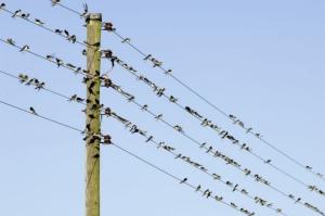 Swallows-D12374