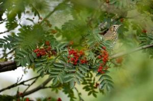 Song thrush in rowan tree