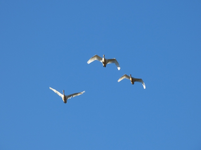 Whooper swan family in flight