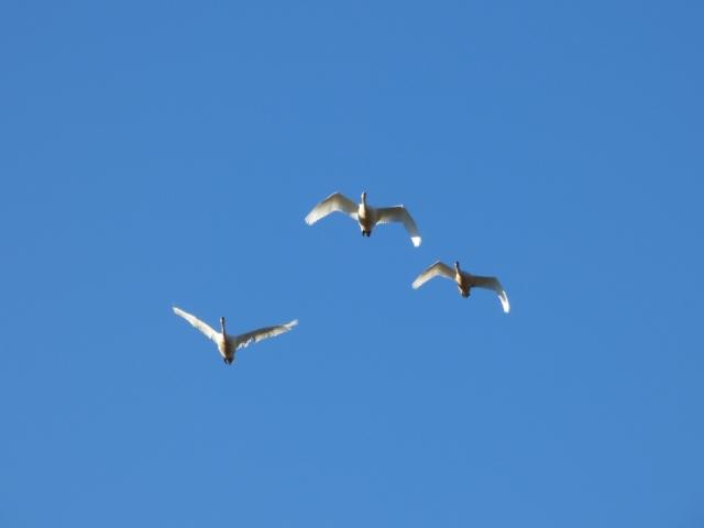 Whooper swan family in flight