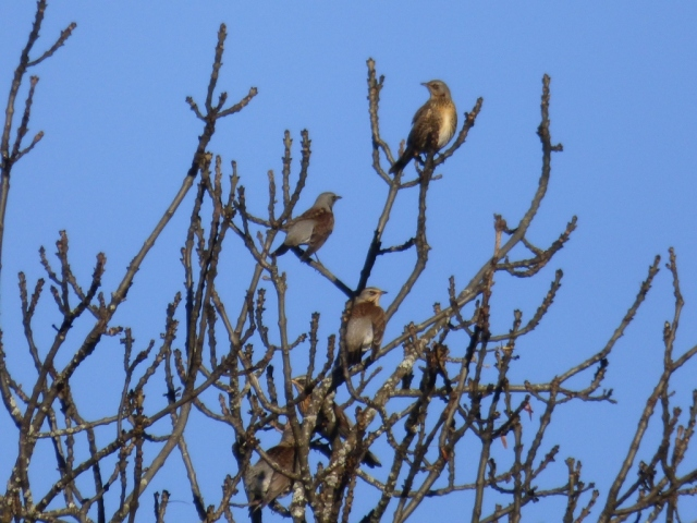 Fieldfares in ash tree