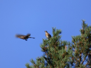 Fieldfare flying out of pine tree