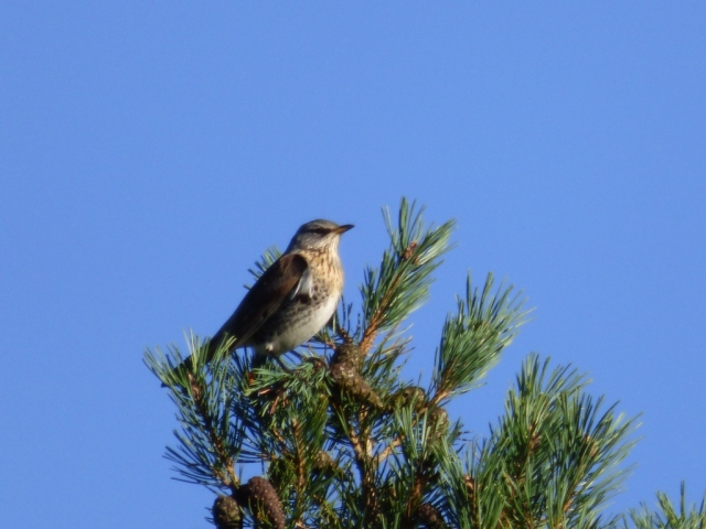 Fieldfare on top of pine tree