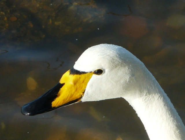Whooper swan beak and face