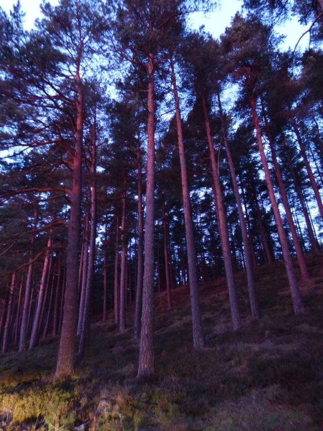 Pine trees in first light