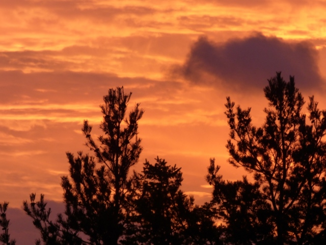 Pine trees in the sunrise