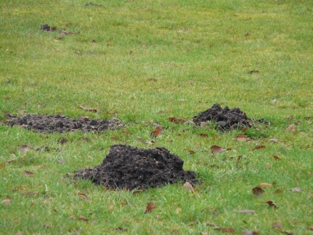 Molehills - but moles can get flooded out in very wet weather