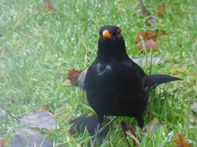 Worm - slimed blackbird!