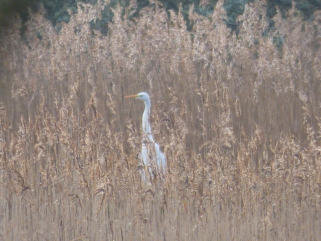 Great White Egret in reeds