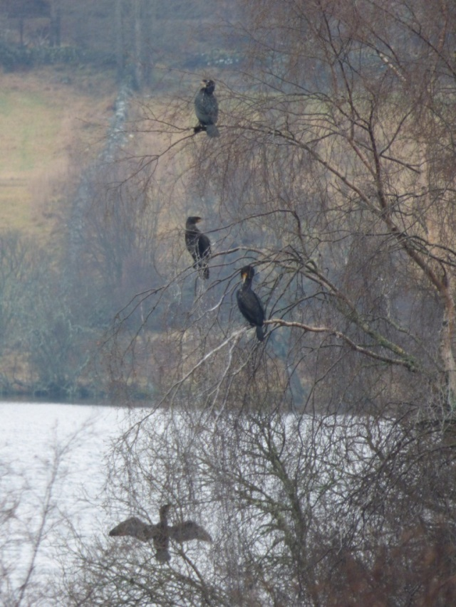 Cormorants roosting on Castle Island