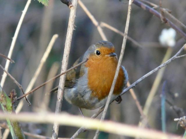 Robin in brambles