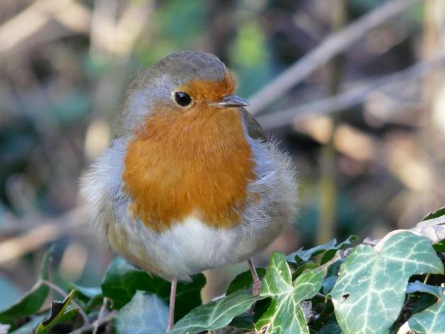 Robin on ivy
