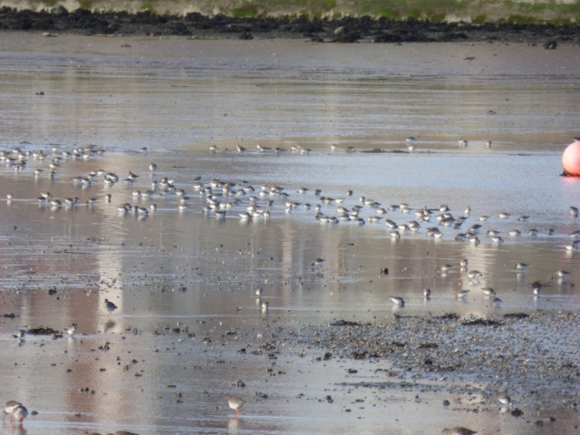 Dunlin feeding on Ythan Estuary