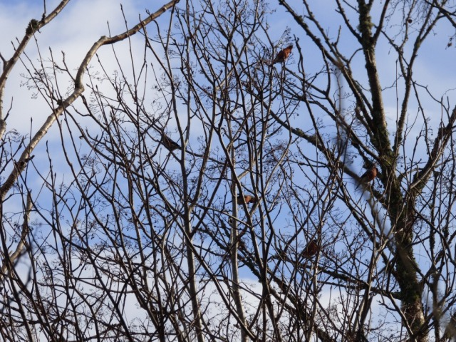 A treeful of bullfinches