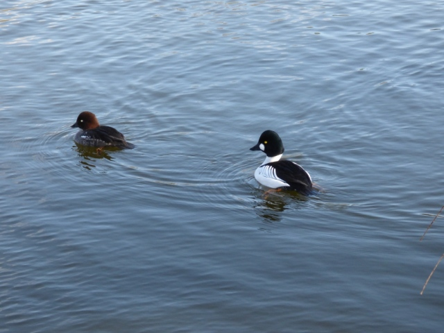 A pair of goldeneye, with the male on the right