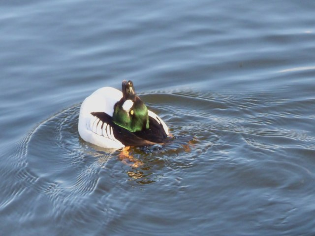 Goldeneye displaying, with head tucked right back onto body