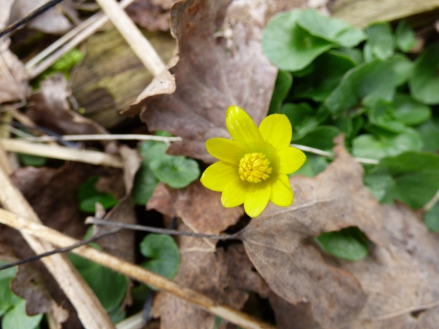 The first celandine of spring