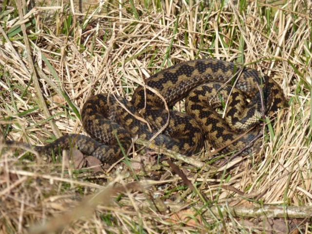 basking adder