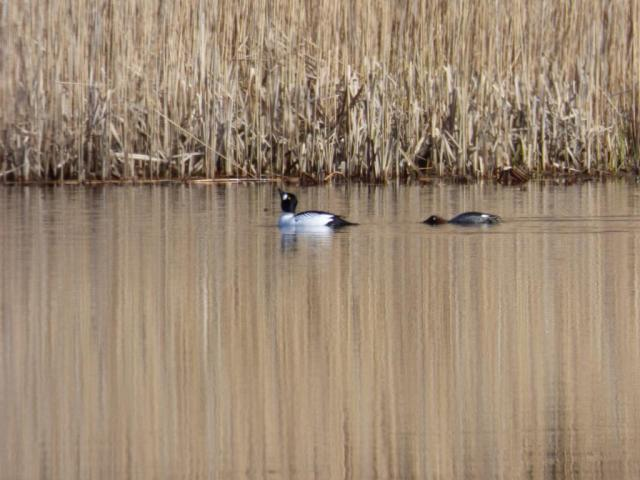 A pair of goldeneye displaying on Loch Kinord