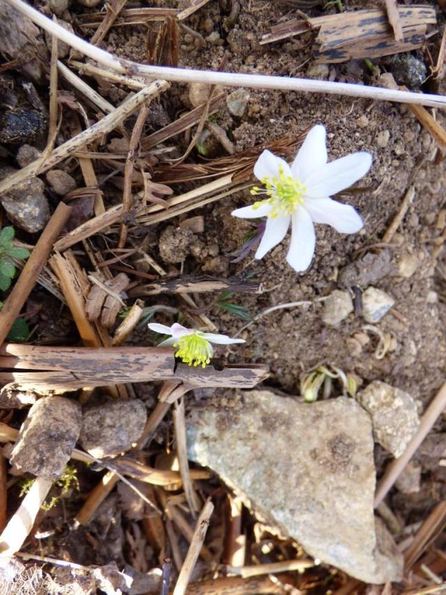 the first wood anemones of spring