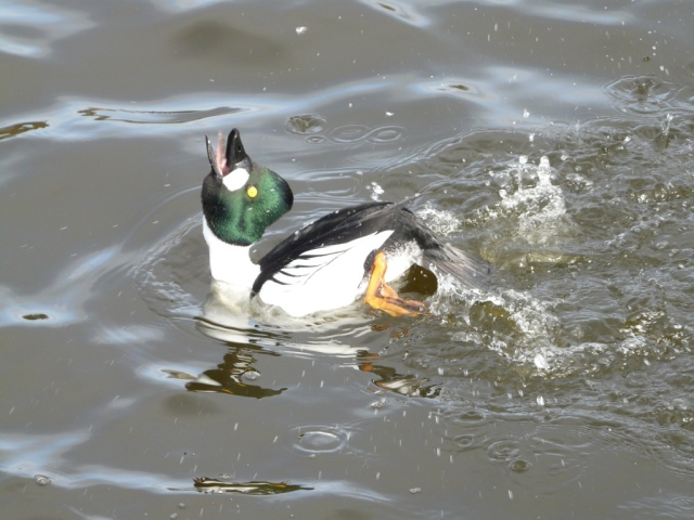 Male goldeneye displaying