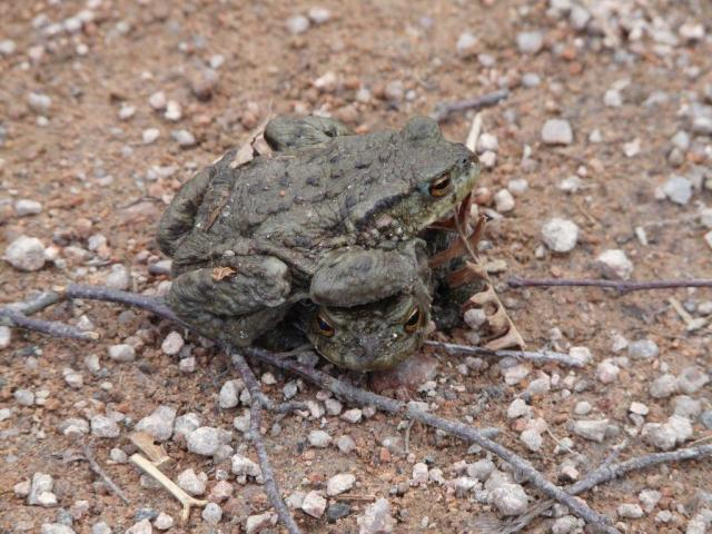 Getting carried away -  male toads wrestling or attempting to mate