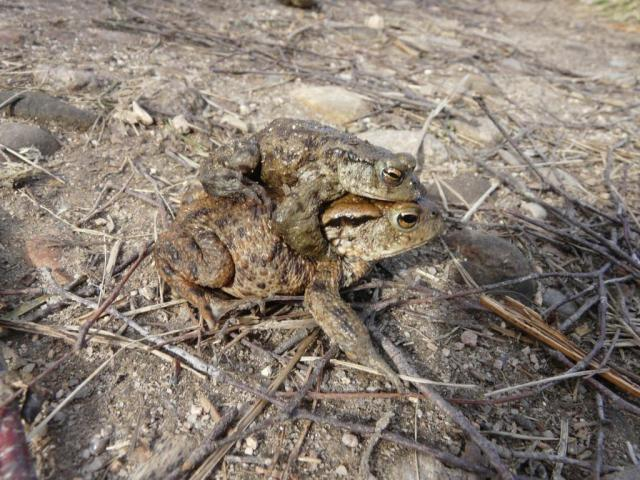 mating toads. The female is often much bigger.
