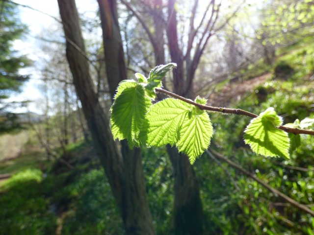 Hazel leaves bursting in the sun