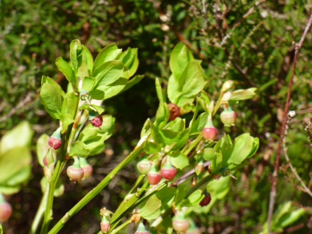 Blaeberry flowers