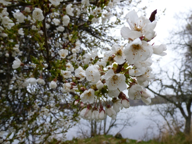 A wild cherry or gean tree in blossom