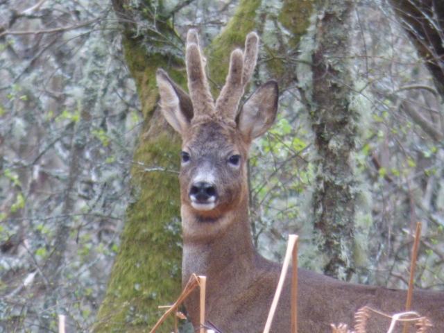 Roebuck in velvet