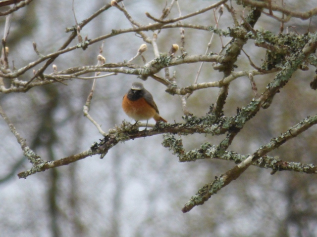 A male redstart, probably our handsomest migrant bird