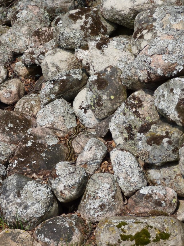 Can you spot him? It can be surprisingly easy to walk past basking adders.