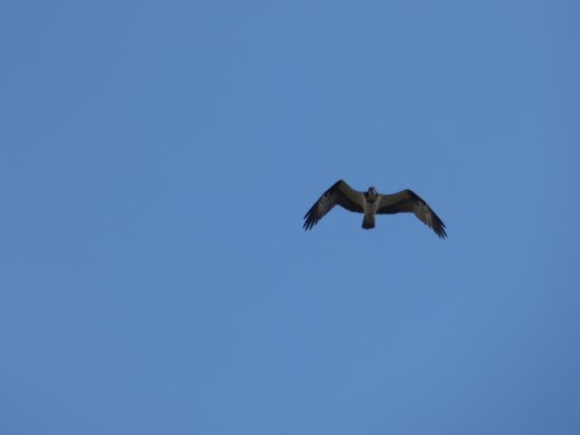 Osprey, heading between the two lochs.