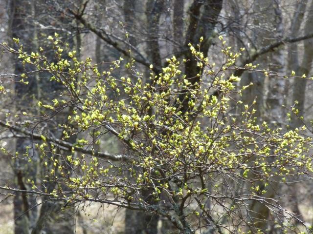 New leaves bursting on the birch trees