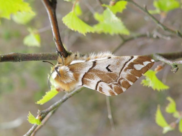 Male kentish glory moth