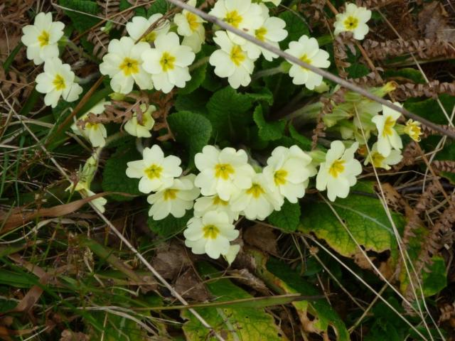 Our first primroses of spring on a sunny bank