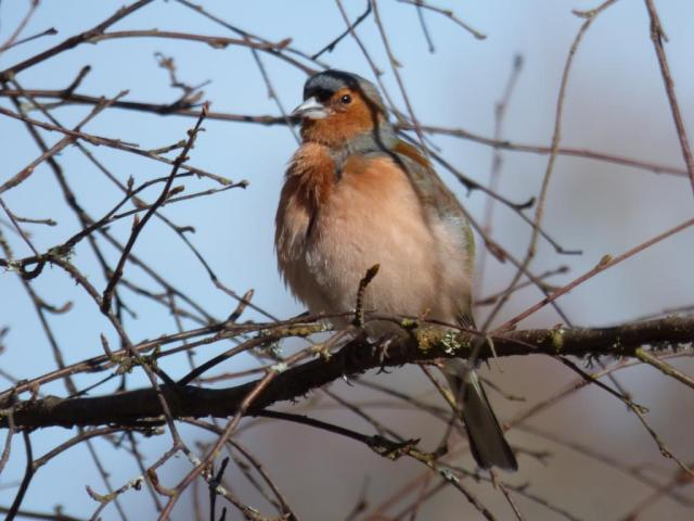 Male chaffinch in his spring finery
