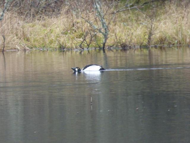 Male goldeneye displaying, Loch Kinord