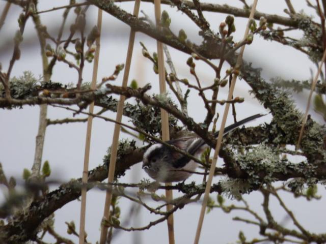 Long -tailed tit gathering lichen for its nest